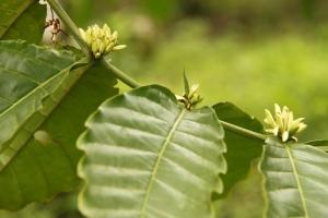 kalibaru plantation